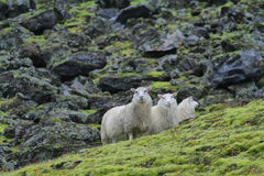 Cute sheeps Stock Photography