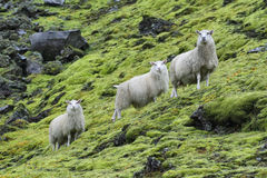Cute sheeps Royalty Free Stock Image