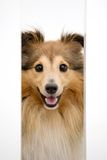 Cute sheltie Royalty Free Stock Image