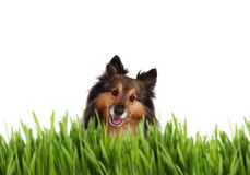 Cute Sheltie behind grass Stock Image