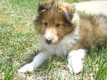 Cute sheltie puppy stock photos