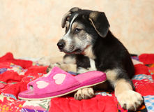 Cute shepherd puppy on the bed with slippers Royalty Free Stock Images
