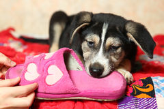 Cute shepherd puppy on the bed with slippers Stock Images
