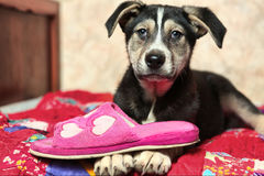Cute shepherd puppy on the bed with slippers Royalty Free Stock Image