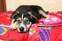 Cute shepherd puppy on the bed with slippers Royalty Free Stock Photography