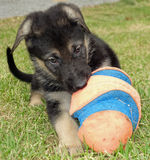 Cute Shepherd Puppy Dog Playing Ball Outdoors Stock Image