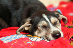 Cute shepherd puppy lay on the bed sleeping Stock Image