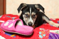 Cute shepherd puppy lay on the bed with slipper gnaw Stock Images