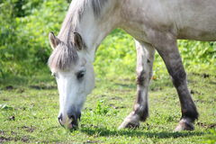 Cute shetland pony at the pasture Stock Images