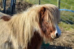 Cute Shetland Pony. A cute Shetland Pony stands in farm yard Stock Photos