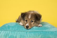 Cute shetland sheepdog puppy lying down on a blue cushion on a yellow background royalty free stock photography