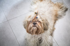 Cute shi tzu dog potrait close up on a calm position. Royalty Free Stock Photo
