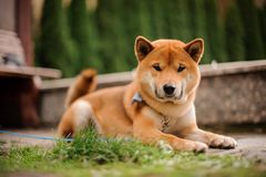 Cute Shiba Inu in the blue butterfly on the leash looking into the camera