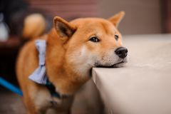 Cute Shiba Inu in the blue butterfly on the leash standing putting chin on stone