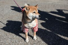 Cute Shiba Inu Dog  with Japan costume Stock Image