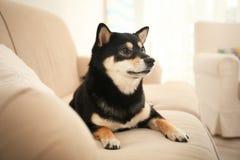 Cute Shiba inu dog on sofa. In room royalty free stock image