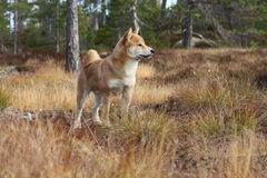 Cute shiba inu free in autumn colors Stock Photography
