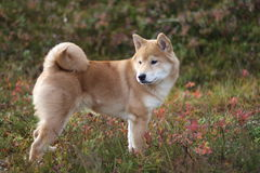 Cute shiba inu free in the woods in autumn stock photos