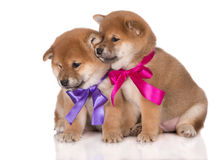 cute shiba inu puppies with ribbons Royalty Free Stock Photography
