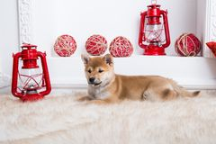 Cute shiba inu puppy is lying on the floor with red lamp on white background royalty free stock image