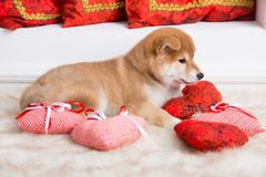 Cute Shiba Inu puppy with red hearts lying on a white background stock image