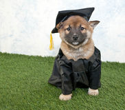 Graduating Puppy Stock Photos