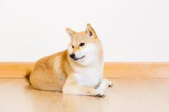Cute shiba lying down Stock Photo