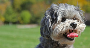 Cute shih-poo dog with tongue Royalty Free Stock Images