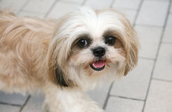 Cute Shih-tzu. Looking at viewer royalty free stock image
