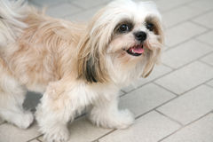 Cute Shih-tzu Stock Photo