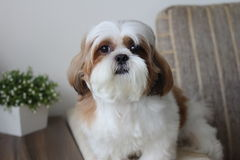 Cute Shih Tzu Royalty Free Stock Photos