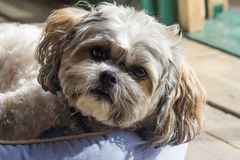 Cute Shih Tzu. Close up head shot of an alert, adorable Shih Tzu Bichon mix dog Stock Images