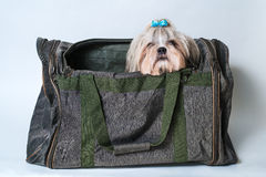 Cute shih tzu dog Royalty Free Stock Images