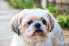 Cute Shih tzu dog Royalty Free Stock Images