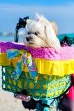 Cute Shih Tzu dog. Cute female shih tzu dog portrait sitting in a bicycle basket at the beach stock photo