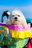 Cute Shih Tzu dog. Cute female shih tzu dog portrait sitting in a bicycle basket at the beach royalty free stock photography