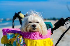 Cute Shih Tzu dog. Cute female shih tzu dog portrait sitting in a bicycle basket at the beach stock photography