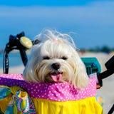 Cute Shih Tzu dog. Cute female shih tzu dog portrait sitting in a bicycle basket at the beach stock photos