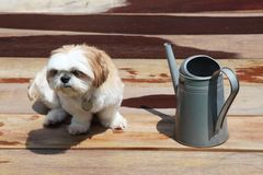 Cute Shih-tzu dog looking to the side next to the watering can Stock Photography