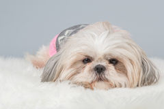 Cute shih-tzu dog. Lying down at a grey background royalty free stock images