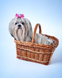 Cute shih tzu dog Royalty Free Stock Photography