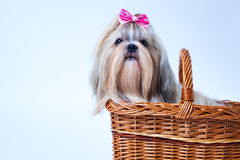Cute shih tzu dog. With pink bow sitting in basket on white and blue background. Text space on left corner stock image