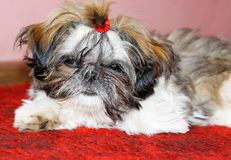 Cute shih tzu dog Stock Photography