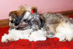 Cute shih tzu dog Royalty Free Stock Photos