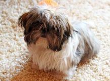 Cute shih tzu dog stock image