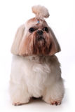 Cute Shih Tzu dog sitting in studio on a white background.  Stock Photos