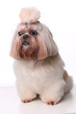 Cute Shih Tzu dog sitting in studio on a white background.  Royalty Free Stock Photo
