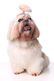 Cute Shih Tzu dog sitting in studio on a white background.  Stock Photography