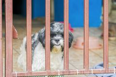 Cute Shih Tzu dogs on fenced windowsill, looking at camera Stock Photography