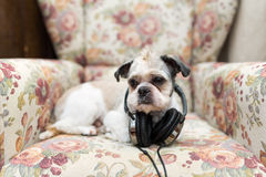 Cute Shih Tzu looking up lying on the shabby chic chair royalty free stock photography
